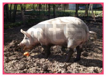 105429C02_口语图片活动猪01