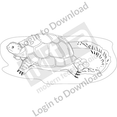 Female turtle laying eggs in hole B&W