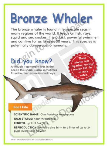 Bronze Whaler