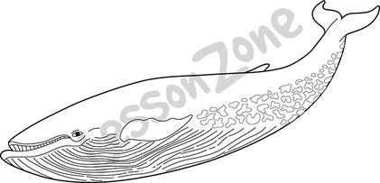 Blue whale  B&W