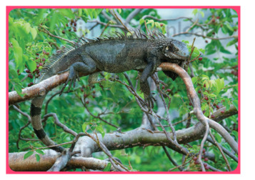 Let's Talk About: Iguana