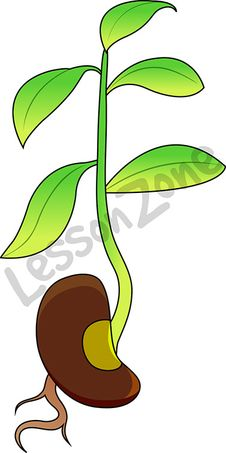 Bean plant sprouting