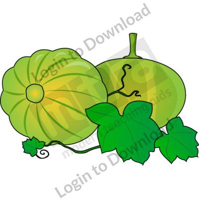 Green pumpkin on vine